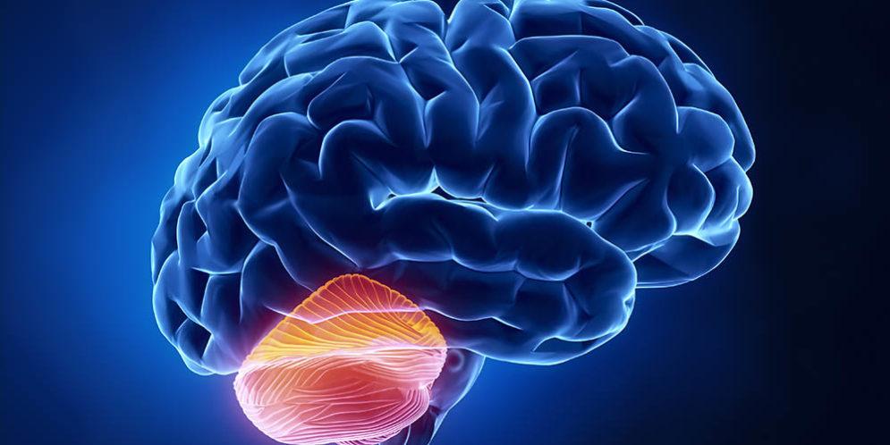 Estudos apontam importantes descobertas sobre o cerebelo